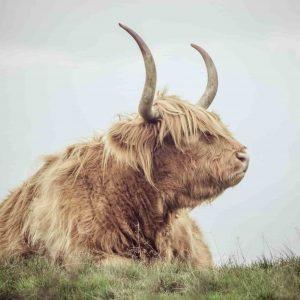 Schote-hooglander-koe-dieren-poster-interieur-fabryk-design-interieurposter-natuur-bestellen-webshop-kleur-bruin-groen